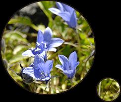 乗鞍岳には多くの高山植物があります
